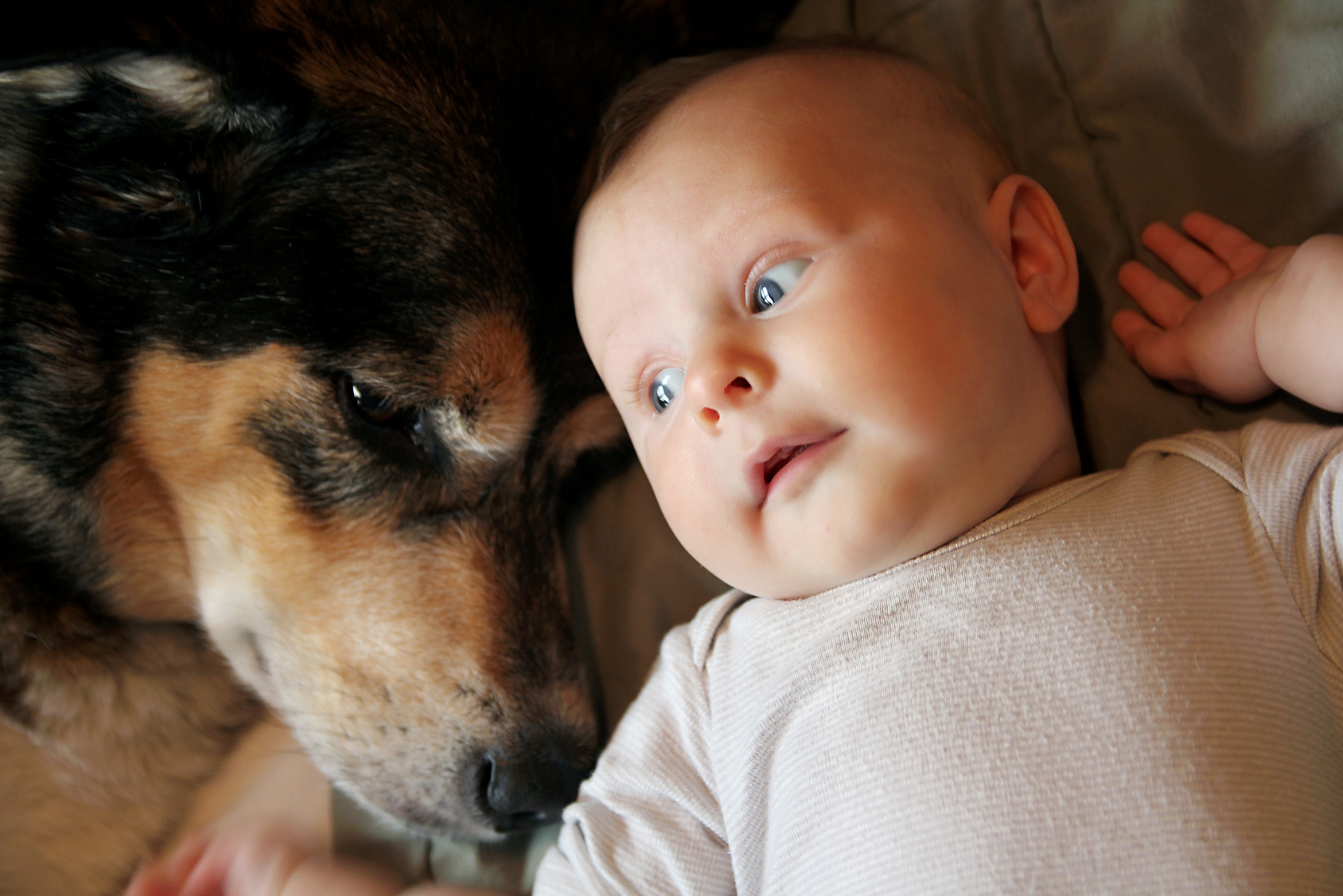 A one month old newborn baby girl is laying on a blanket snuggling with her Pet German Shepherd Dog.